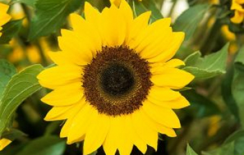 Have Fun Growing Sunflowers With The Children At Home